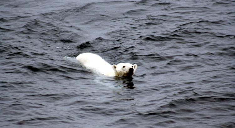 polar bear, Thomas Vonier, AIA, Wikimedia Commons